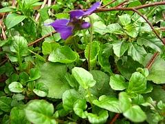 植物図鑑 写真:スミレ