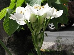 クロボシオオアマナ(黒星大甘菜)