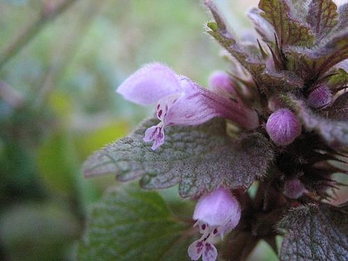 植物図鑑 写真:ヒメオドリコソウ