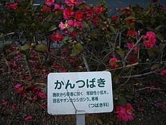寒椿(サザンカシシガシラ)
