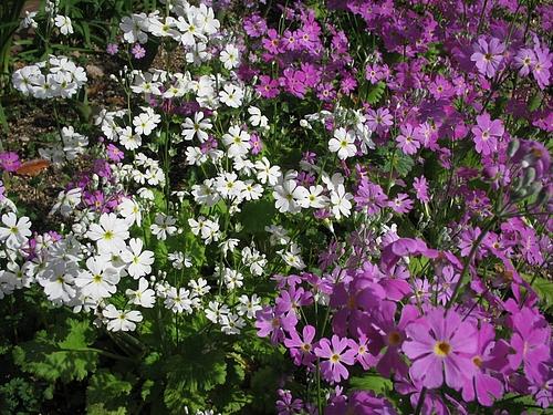 植物図鑑 写真:セイヨウサクラソウ(西洋桜草)