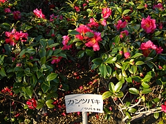 植物図鑑 写真:寒椿(サザンカシシガシラ)