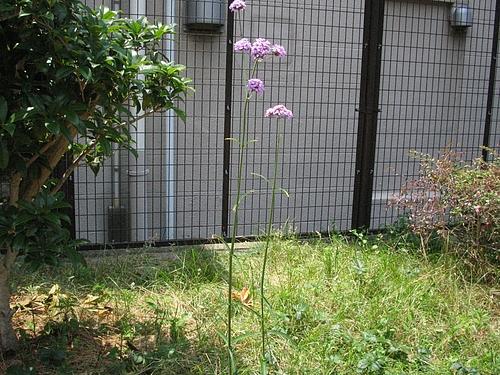 ヤナギハナガサ(柳花笠)