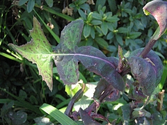 植物図鑑 写真:野芥子 (ノゲシ)