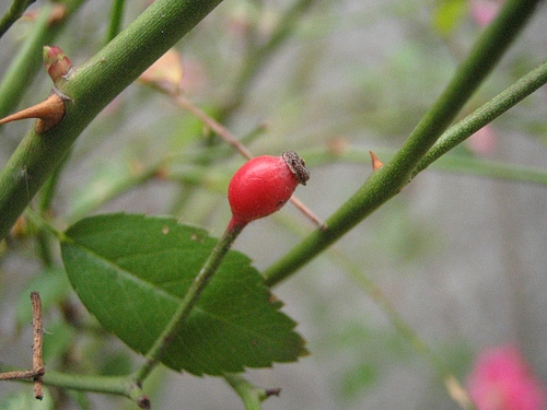 植物図鑑 写真:ローズヒップ