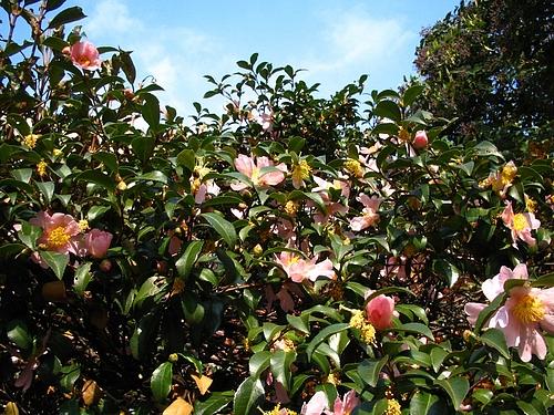 植物図鑑 写真:山茶花ーピンク