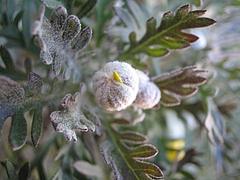 植物図鑑 写真:ユリオプスデージー