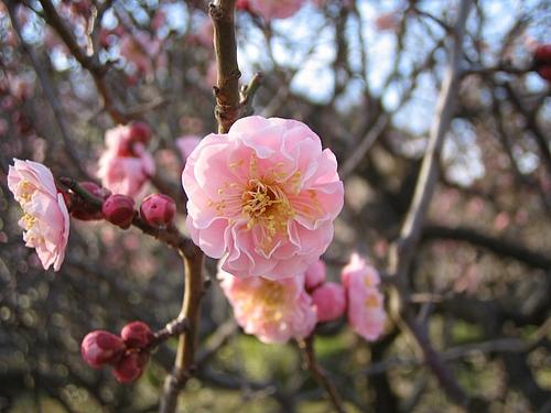 植物図鑑 写真:楊貴妃(ようきひ)
