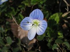 植物図鑑 写真:オオイヌノフグリ