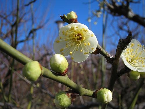 植物図鑑 写真:リョクガクバイ(緑萼梅)