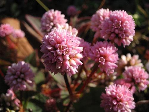 植物図鑑 写真:ヒメツルソバ(姫蔓蕎麦)