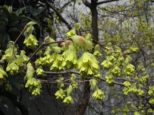 植物図鑑 写真:トサミズキ(土佐水木)