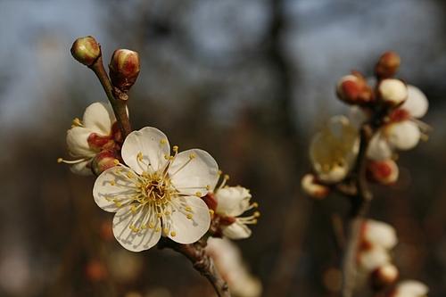 植物図鑑 写真:冬至梅