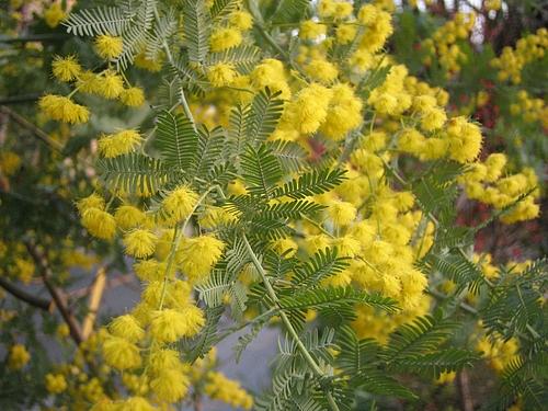 植物図鑑 写真:ギンヨウアカシア