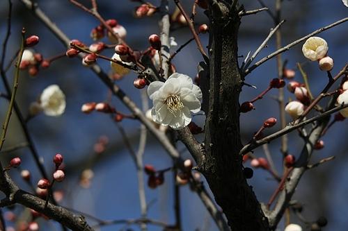 植物図鑑 写真:八重海棠