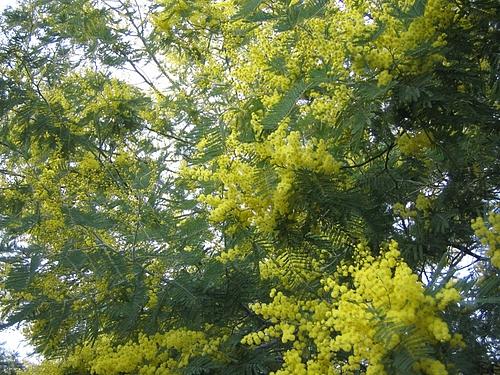 植物図鑑 写真:フサアカシア(ミモザ)
