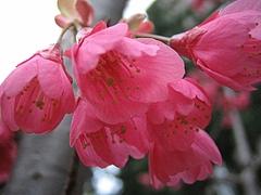 植物図鑑 写真:カンヒザクラ