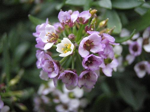 植物図鑑 写真:スイートアリッサム(ニワナズナ)