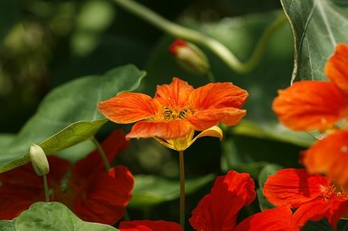 キンレンカ(金蓮花)