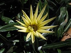 植物図鑑 写真:クンショウギク(勲章菊)