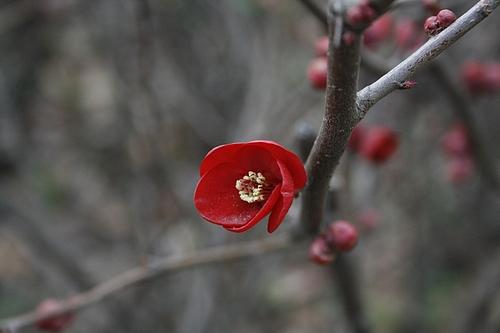 植物図鑑 写真:ボケ(木瓜)