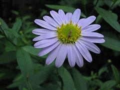 ノギク(野菊)