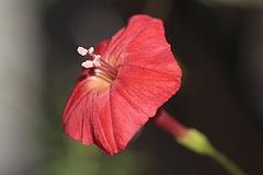 ハゴロモルコウソウ(羽衣縷紅草)