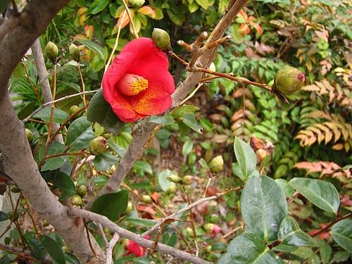 植物図鑑 写真:ヤブツバキ