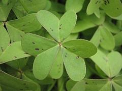 植物図鑑 写真:カタバミ