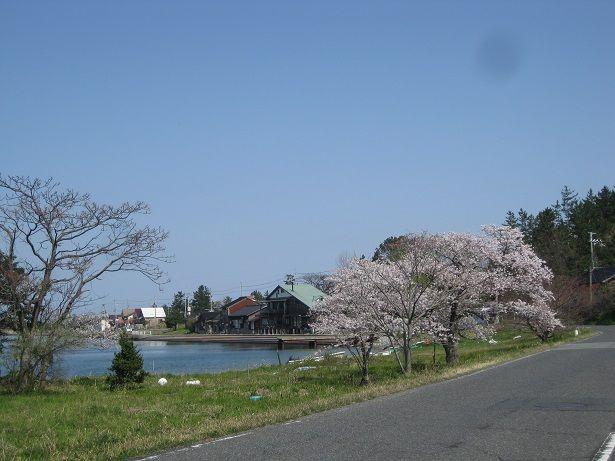 小天橋周辺の桜