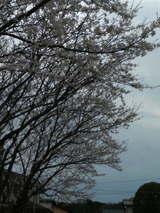 2007桜2