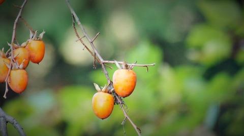 枝垂れ柿(しだれがき )(滋賀竜王の山里にて)旬縁館   (11)