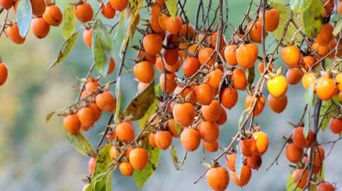 枝垂れ柿(しだれがき )(滋賀竜王の山里にて)旬縁館   (4)
