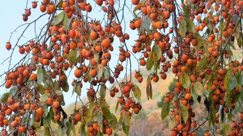 枝垂れ柿(しだれがき )(滋賀竜王の山里にて)旬縁館   (8)