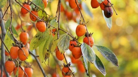 枝垂れ柿(しだれがき )(滋賀竜王の山里にて)旬縁館   (10)