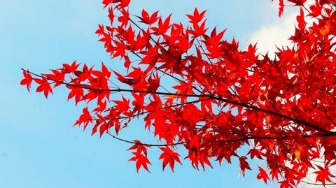 紅葉(滋賀竜王の山里にて)旬縁館 (3)