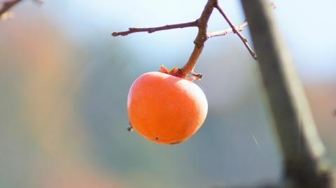 柿(滋賀竜王の山里にて)旬縁館  (6)