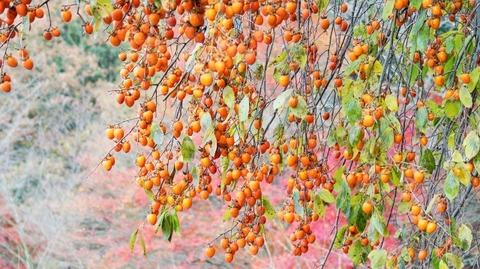 枝垂れ柿(しだれがき )(滋賀竜王の山里にて)旬縁館   (7)