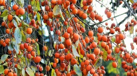 枝垂れ柿(しだれがき )(滋賀竜王の山里にて)旬縁館   (1)