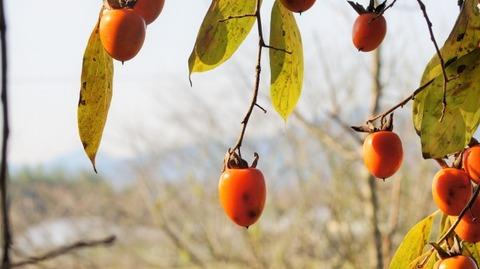 枝垂れ柿(しだれがき )(滋賀竜王の山里にて)旬縁館   (12)