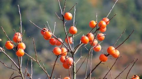 柿(滋賀竜王の山里にて)旬縁館  (2)