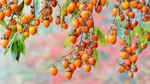 枝垂れ柿(しだれがき )(滋賀竜王の山里にて)旬縁館   (3)