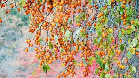 枝垂れ柿(しだれがき )(滋賀竜王の山里にて)旬縁館   (6)