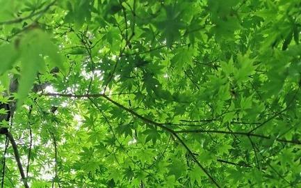 青紅葉 (2)