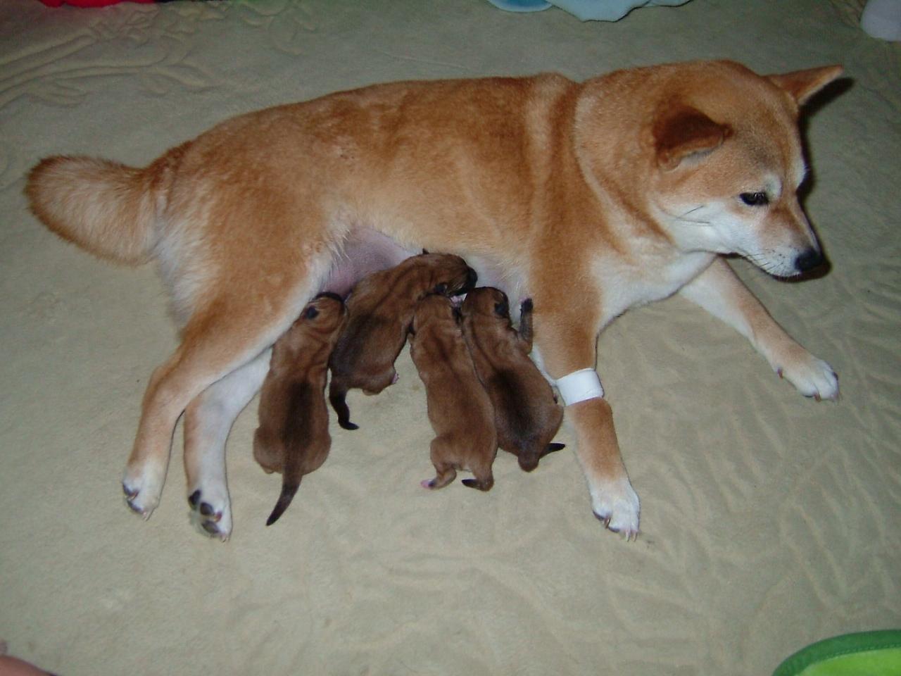 さつき・出産 柴犬(さつき)が朝8時過ぎ、やっと出産。 帝王切開での、出産。いやー、ホ... 映