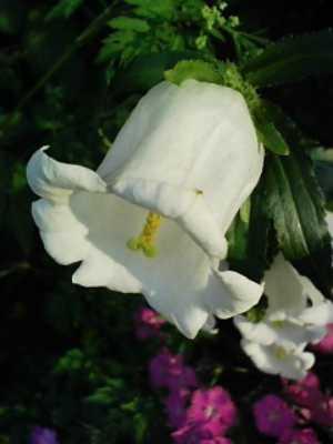 ベルみたいな花