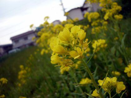 2010.8.20.菜の花