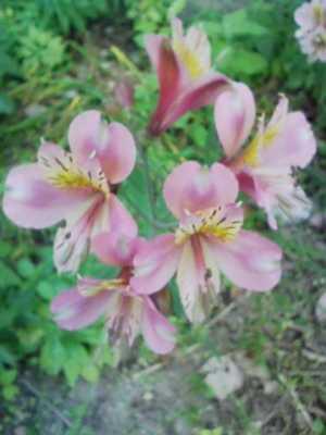 ラッパみたいな形の花