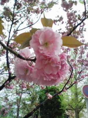 来年また会おう、八重桜