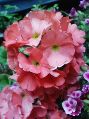 珊瑚色のお花